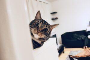 Funny cat staring around the corner
